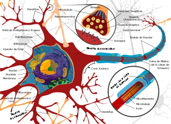 350px-Complete_neuron_cell_diagram_es.svg