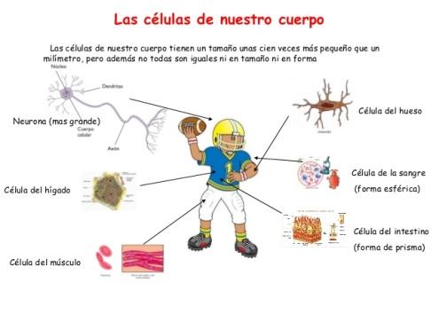 tema1-cuerpo-humanola-clula-5-638